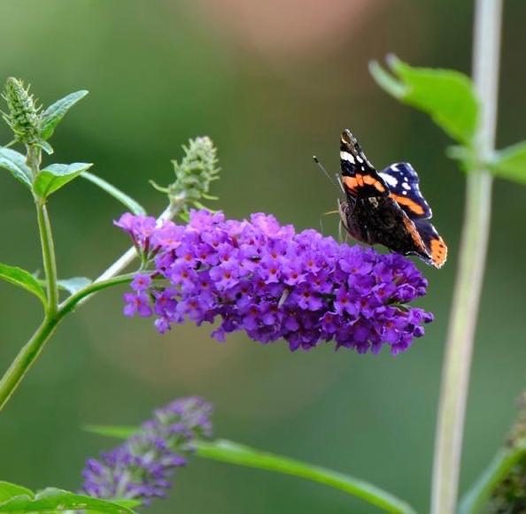 Schmetterling Ostfriesland